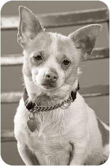Corgi/Chihuahua Mix Dog for adoption in Portland, Oregon - Poncho