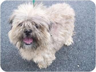 Shih Tzu Dog for adoption in Oak Ridge, New Jersey - Porky