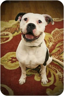 Boxer Mix Dog for adoption in Lake Odessa, Michigan - Spartacus