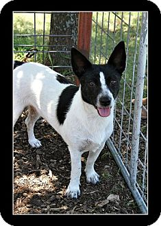 Terrier (Unknown Type, Medium)/Jack Russell Terrier Mix Dog for adoption in Comanche, Texas - Fred