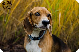 Beagle Dog for adoption in Howell, Michigan - Robbie