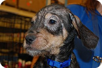 Beagle/Dachshund Mix Puppy for adoption in Lexington, Kentucky - Butters