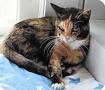 Domestic Shorthair Cat for adoption in Morganton, North Carolina - Catalina