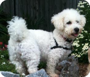 Bichon Frise Dog for adoption in Mount Gretna, Pennsylvania - Mrs. Howl
