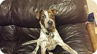 German Shorthaired Pointer/Australian Cattle Dog Mix Puppy for adoption in Norwich, Connecticut - Pollock