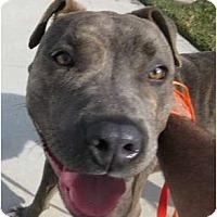 Adopt A Pet :: Bella - Riverside, CA