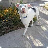 Adopt A Pet :: Spud - Mesa, AZ