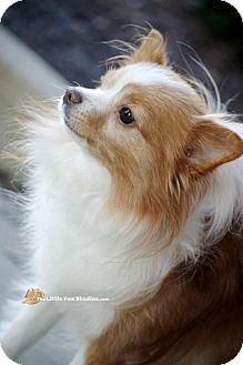 Papillon Mix Dog for adoption in Livonia, Michigan - Cooper