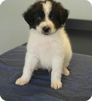Australian Cattle Dog/Catahoula Leopard Dog Mix Puppy for adoption in Seneca, South Carolina - Winston $250
