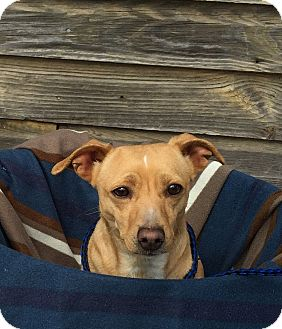 Dachshund Mix Dog for adoption in Fairmount, Georgia - Daffy Do