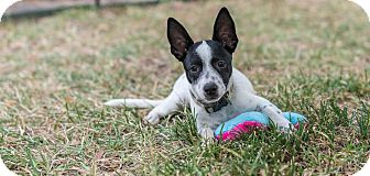 Jack Russell Terrier/Dachshund Mix Puppy for adoption in Austin, Texas - Penguin