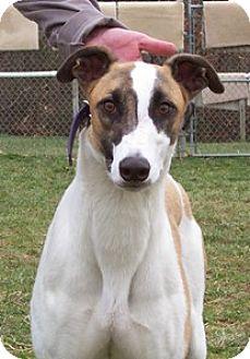 Greyhound Dog for adoption in Randleman, North Carolina - Boeing
