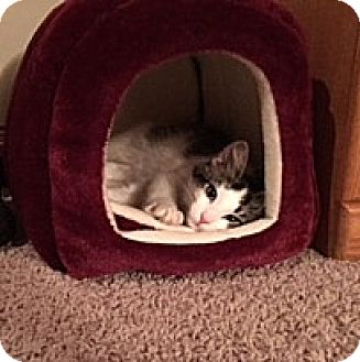 Domestic Shorthair Kitten for adoption in Roseville, Minnesota - Marley & Jack (bonded pair)