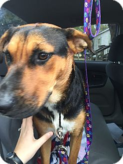 Shepherd (Unknown Type) Mix Dog for adoption in Brattleboro, Vermont - Shelly