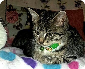 Domestic Shorthair Kitten for adoption in Washington, North Carolina - KIWI