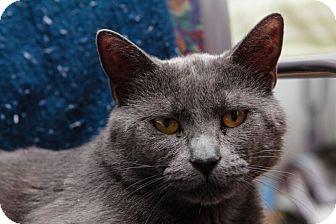 Domestic Shorthair Cat for adoption in Acushnet, Massachusetts - Lexington