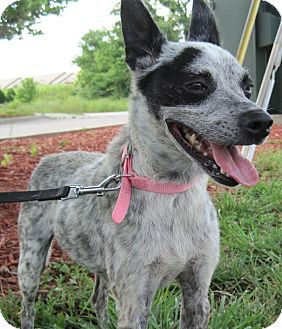 Blue Heeler Mix Dog for adoption in Branson, Missouri - Bandit/Mary ellen
