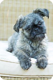 Shih Tzu Puppy for adoption in Tallahassee, Florida - Dewey - ADOPTED