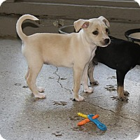 Adopt A Pet :: Bambi - Puppy - Coming Soon - Dallas, TX