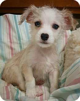 Terrier (Unknown Type, Small)/Chihuahua Mix Puppy for adoption in Fredericksburg, Texas - Asher