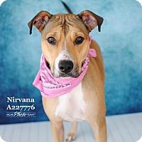 Adopt A Pet :: NIRVANA - Conroe, TX