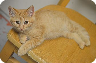 Domestic Shorthair Kitten for adoption in San Leon, Texas - Camenbert