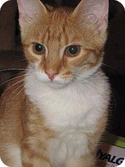 Domestic Shorthair Kitten for adoption in Walnutport, Pennsylvania - Dakota