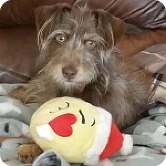 Dachshund/Terrier (Unknown Type, Small) Mix Puppy for adoption in Las Vegas, Nevada - Reese