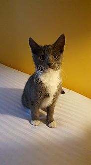 Domestic Shorthair Kitten for adoption in Waldorf, Maryland - Ellie