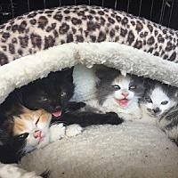Adopt A Pet :: Moonbeam - Burbank, CA