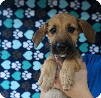 Schnauzer (Miniature) Mix Puppy for adoption in Oviedo, Florida - Mel