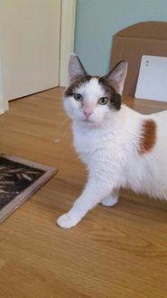 Domestic Shorthair/Domestic Shorthair Mix Cat for adoption in Davenport, Iowa - Tia