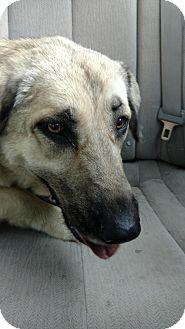 Anatolian Shepherd Dog for adoption in Sherman, Connecticut - Dixie