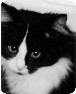 Domestic Longhair Kitten for adoption in Bowling Green, Kentucky - Sophia