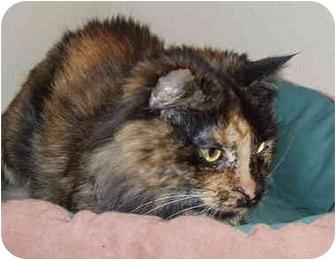 Domestic Mediumhair Cat for adoption in Kellogg, Idaho - Pixie