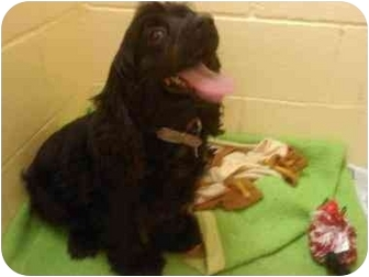 Cocker Spaniel Dog for adoption in Youngwood, Pennsylvania - Madison Marie