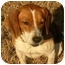 Photo 2 - Beagle Dog for adoption in White Plains, New York - Bogie Beagle