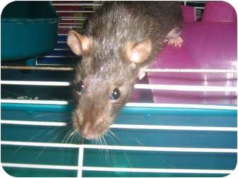 Rat for adoption in Cincinnati, Ohio - Louise