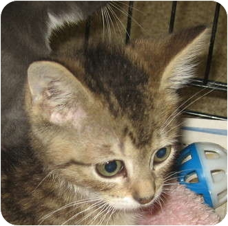 Domestic Shorthair Kitten for adoption in Hamilton, New Jersey - COOPER