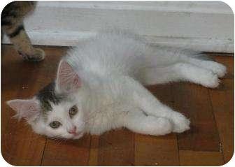 Turkish Angora Kitten for adoption in Oxford, Connecticut - Turkish Angora