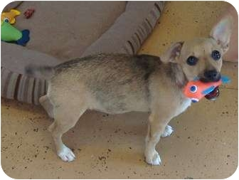 Chihuahua/Terrier (Unknown Type, Small) Mix Puppy for adoption in Arkadelphia, Arkansas - GG