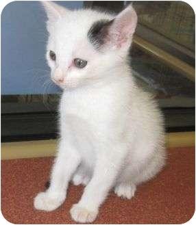 American Shorthair Kitten for adoption in Riverside, California - Buddy