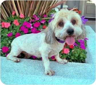 Lhasa Apso/Terrier (Unknown Type, Small) Mix Dog for adoption in Los Angeles, California - KYLIE