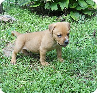 Labrador Retriever/Shar Pei Mix Puppy for adoption in Broadway, New Jersey - Nellie