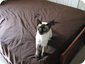 Siamese Cat for adoption in West Palm Beach, Florida - Chinny