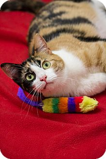 Calico Cat for adoption in Chicago, Illinois - Squiggles