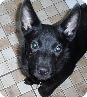 Chihuahua/Jack Russell Terrier Mix Puppy for adoption in Buffalo, New York - Jeffrey