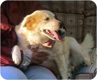 Cattle Dog/Blue Heeler Mix Dog for adoption in Portsmouth, Rhode Island - Snuggles 2