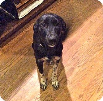 Border Collie/Blue Heeler Mix Dog for adoption in Hamburg, Pennsylvania - Taffy