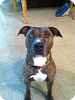 Pit Bull Terrier Mix Dog for adoption in Bellingham, Washington - Achilles